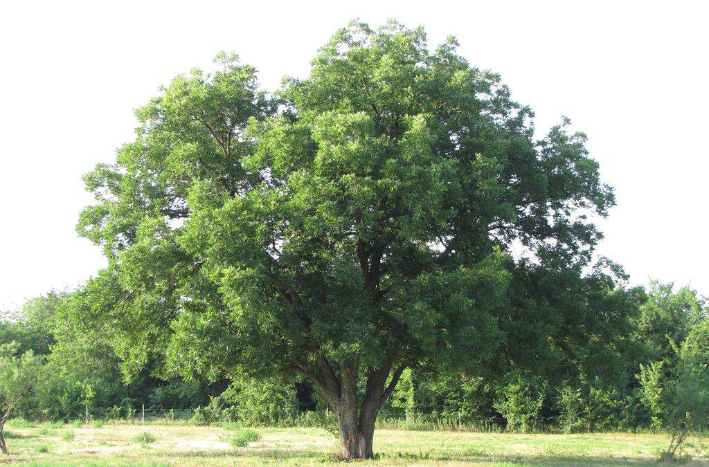 http://phucthao.com/images/products/hathodao/large/pecan-tree.jpg